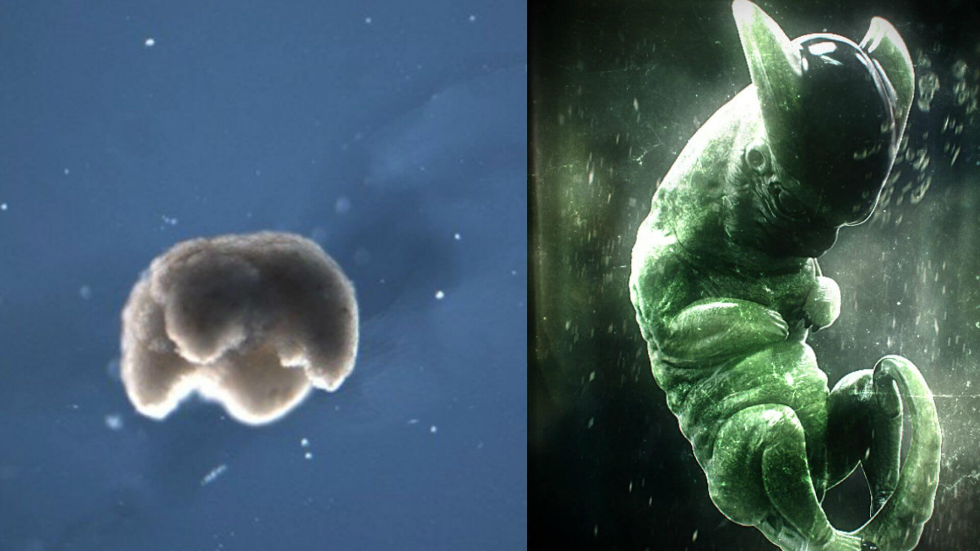 Ученые создали живых нанороботов из клеток африканской лягушки