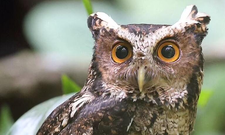 Найдена самая редкая сова в мире, которую не видели 125 лет
