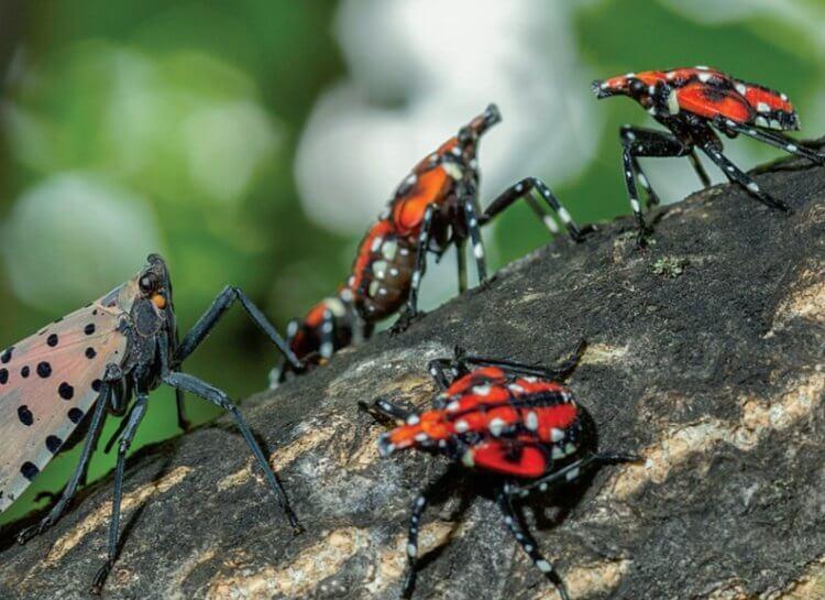 По США распространяются опасные для растений насекомые