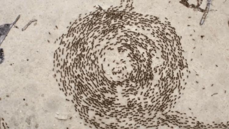 """Круги смерти — природный баг в """"прошивке"""" муравьев?"""