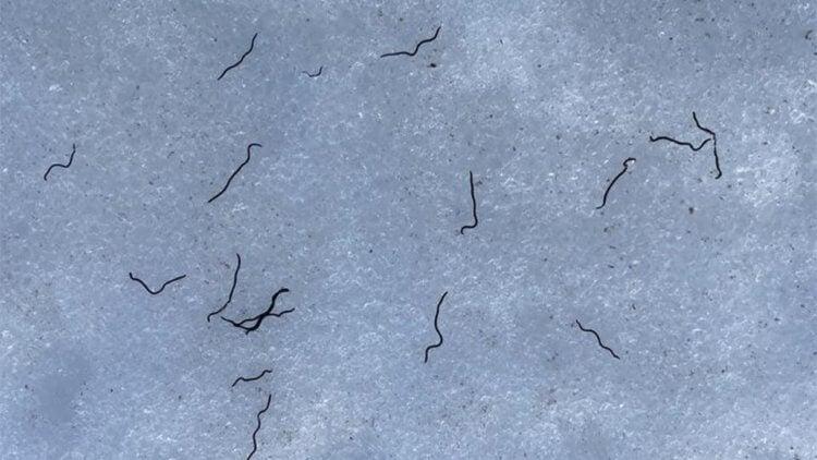 Научный парадокс — ледники на северо-западе Тихого океана заселены червями