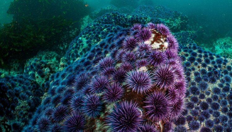 Чтобы спасти водоросли и атмосферу Земли, ученые искусственно разводят морских звезд