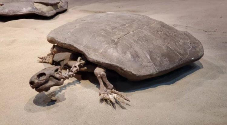 Ученые обнаружили яйцо с эмбрионом древней гигантской черепахи