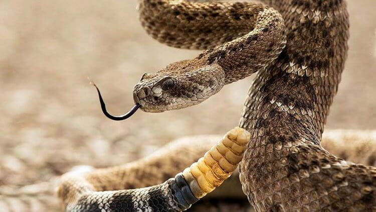 Как гремучая змея обманывает мозг человека, заставляя думать, что находится рядом