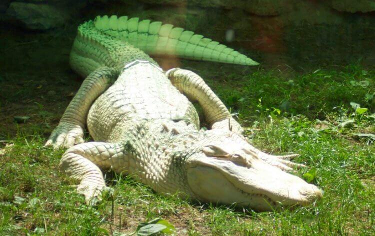 В канализации Нью-Йорка живут крокодилы: правда ли это?