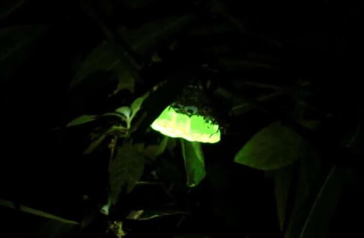 Почему некоторые осиные гнезда светятся в темноте?