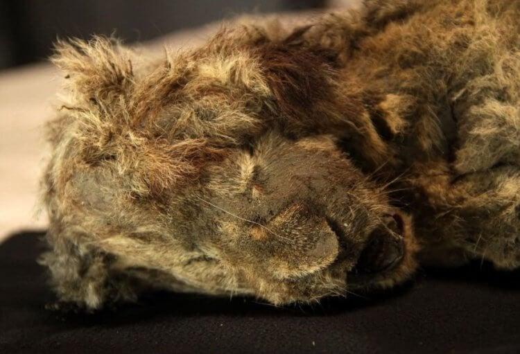 В Якутии найдены останки пещерного львенка возрастом 28 000 лет