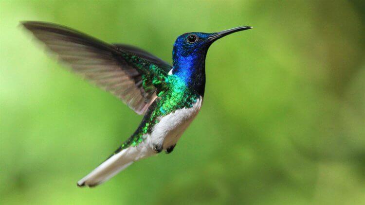 Почему некоторые самки колибри маскируются под самцов