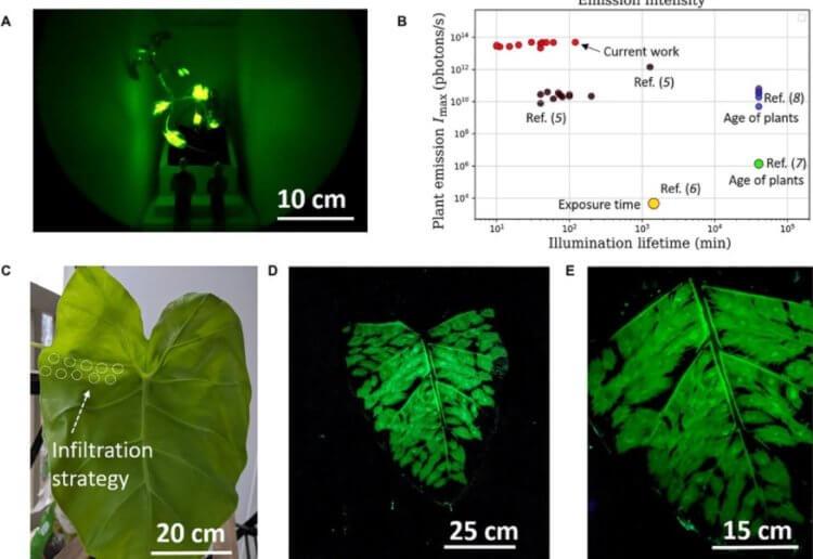Ученые научились «заряжать» растения. Из них можно сделать светильники