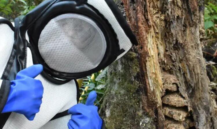 В США находят все больше гнезд гигантских шершней. Чем они опасны?