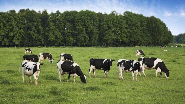 Коровы влияют на глобальное потепление климата гораздо меньше, чем соя и кукуруза