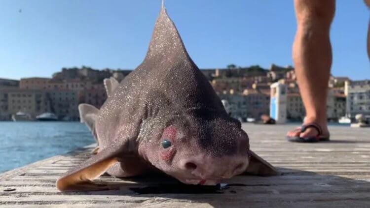В Италии найдена рыба, похожая на свинью. Что это за чудовище?