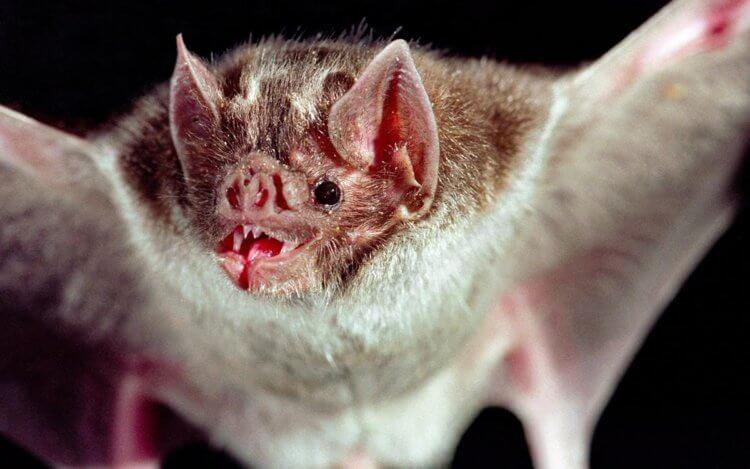 Летучие мыши-вампиры любят ужинать в компании друзей