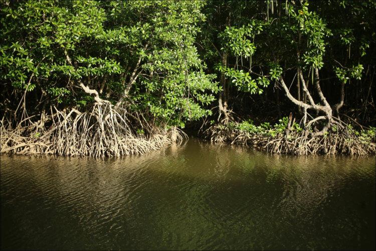 Мангровый лес дает неутешительную подсказку о будущем повышении уровня воды на планете